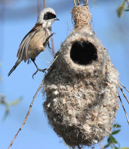 Ремез и его гнездо
